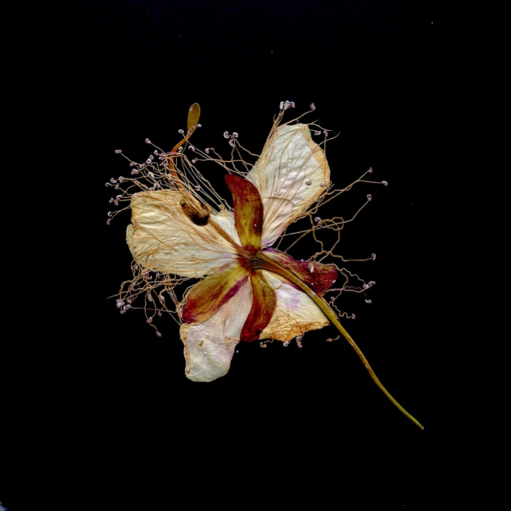 caper flower, pressed
