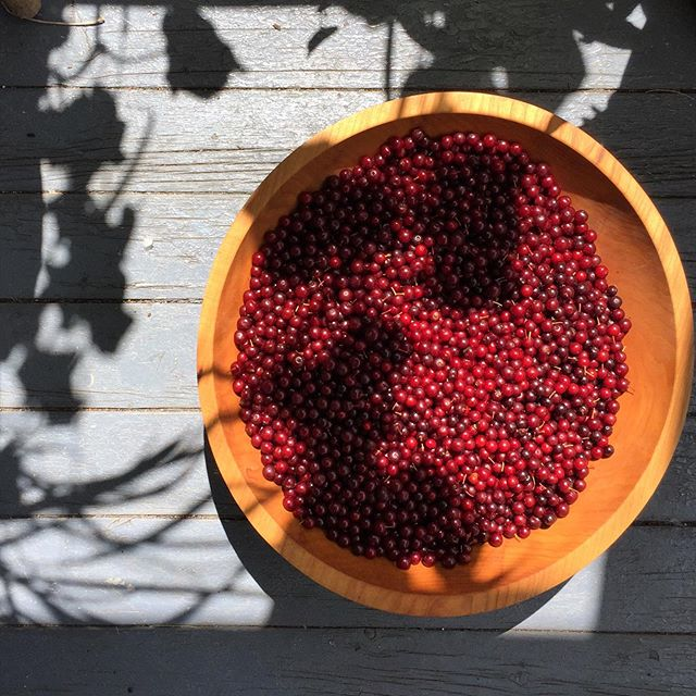 Chokecherries as sweet as farmed cherries in Adirondacks soil they helped grow // cucumber and lemongrass in the shadows, rootbound, far from home.