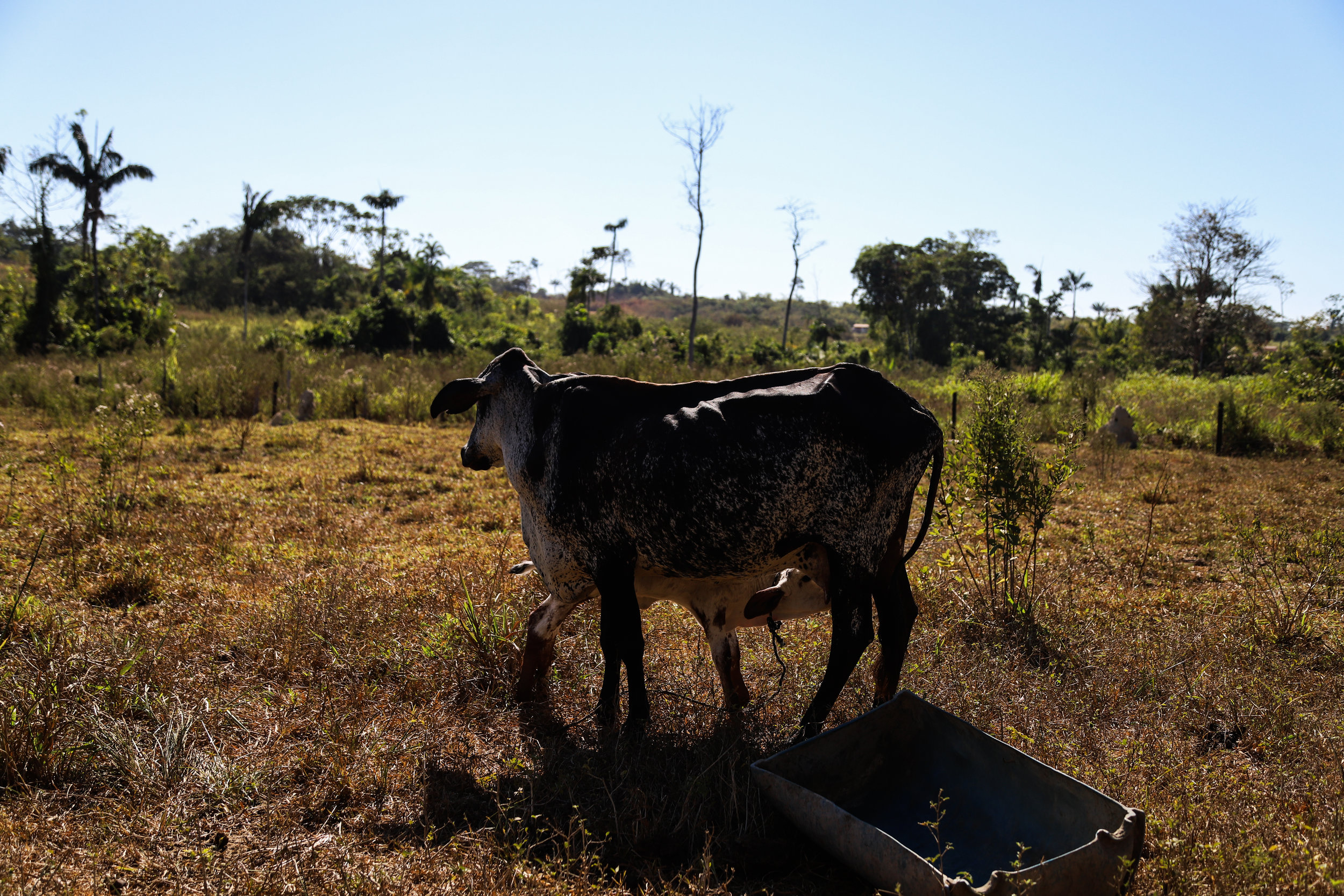 A dairy cow in a grazed pasture in the municipality of Apiacás. Dairy farming is one of the most common activities practiced by family farmers in northern Mato Grosso, many of whom migrated north from southern states.