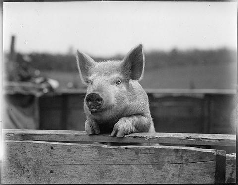 pig-480