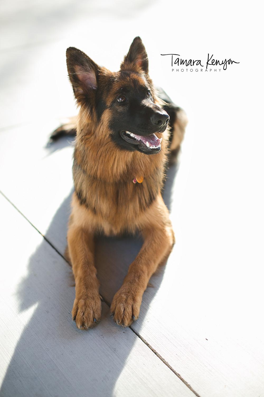 German shepherd boise