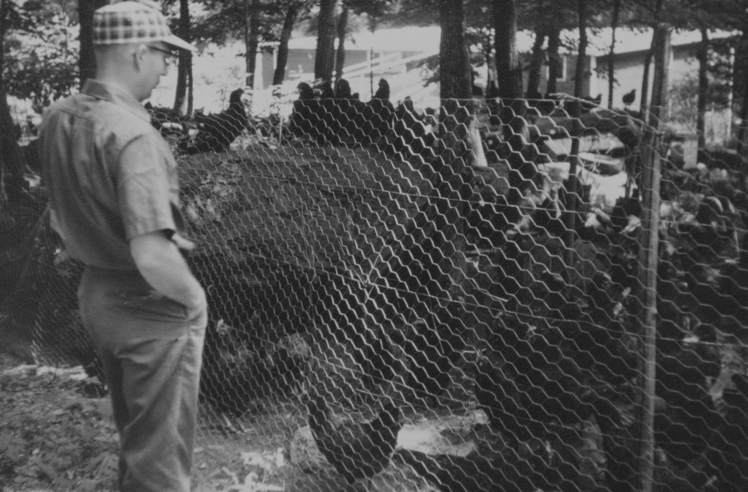 George Sr. observes his chicken flock in Mansfield, Connecticut. (Archive)
