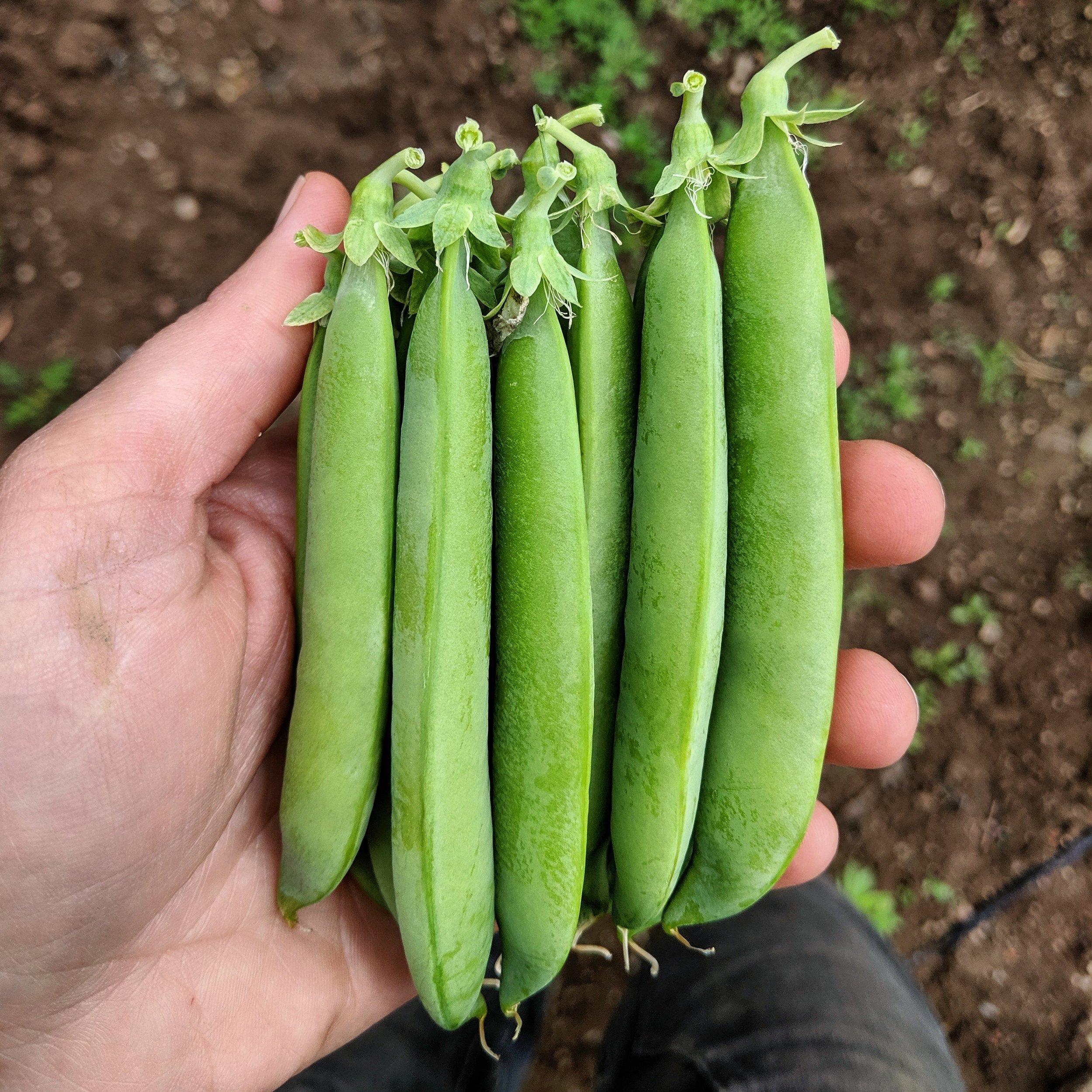 Peas : Sugar Snap, Snow Rainbow Mix (yellow, green, purple), and Shelling.