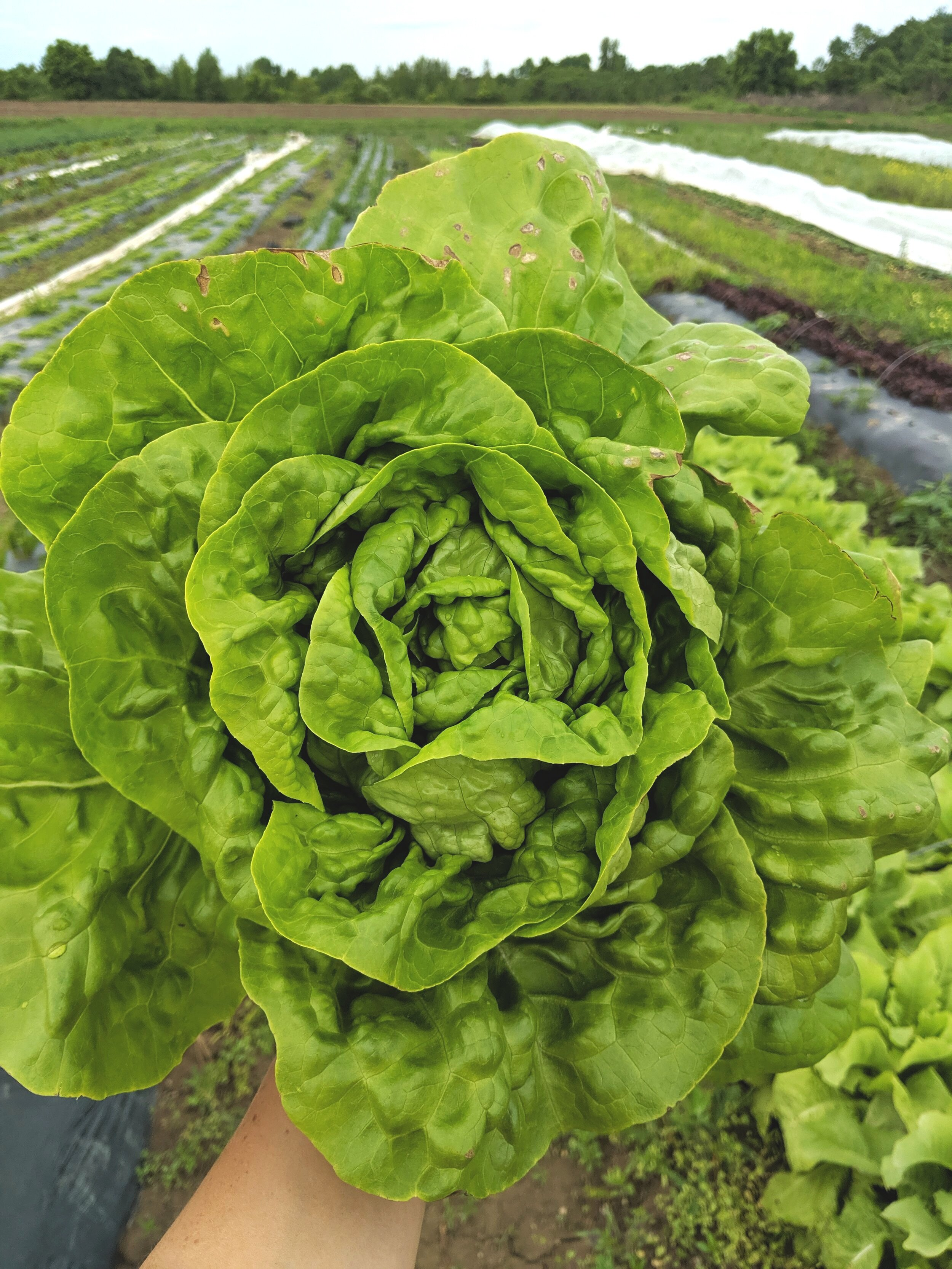 Lettuce:  Salad mix, Red & Green Butterheads, Iceberg, and Romaine.