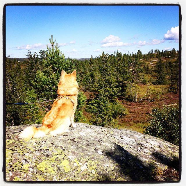 Kiljan I sitt kongerike. #sommer2016 #bolkesjø #islandshund