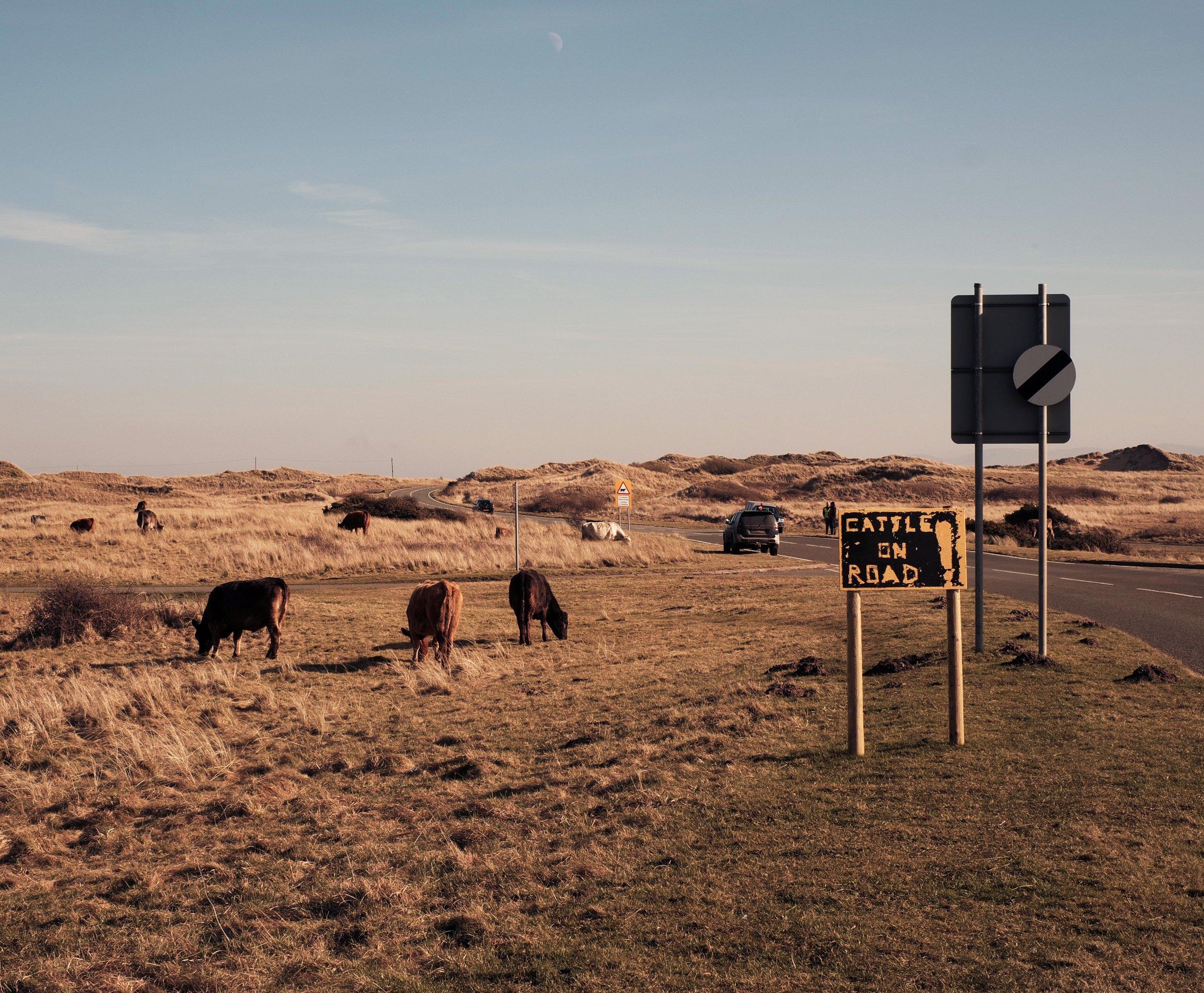cows1 web.jpg