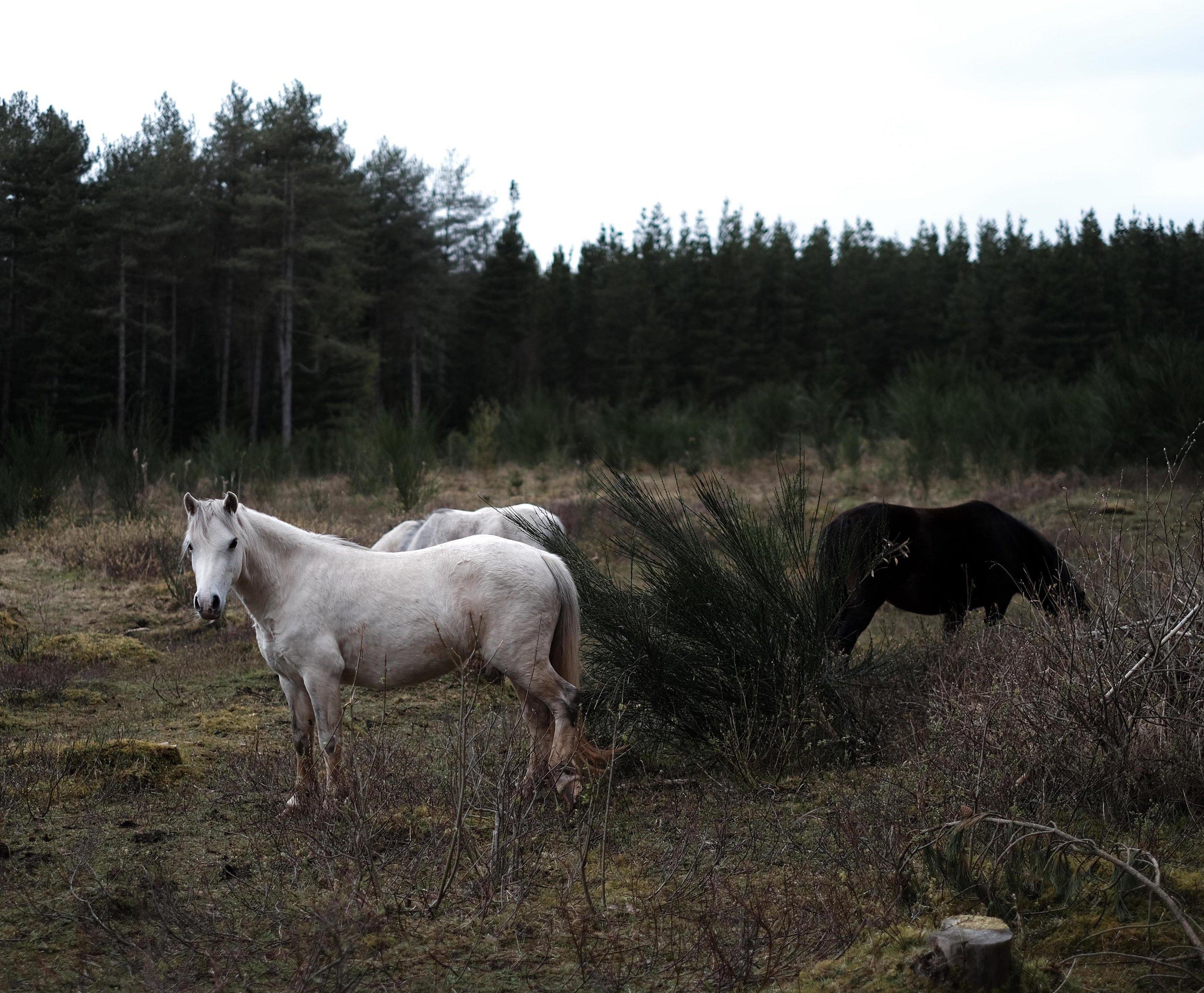 horses web2.jpg