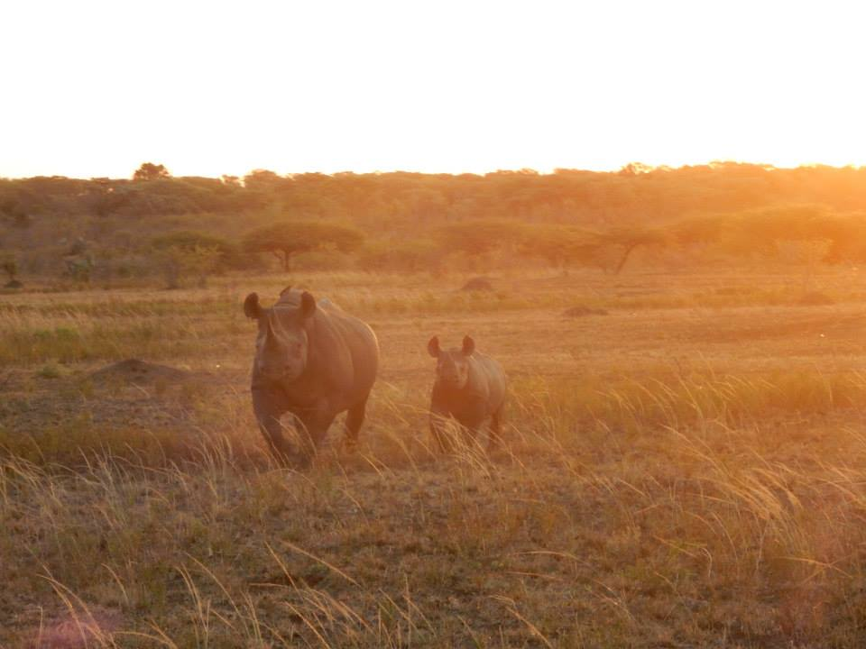 My daughter took this photo of black rhinos during a standard data collection event. The picture was taken just after the rhinos charged the research group.
