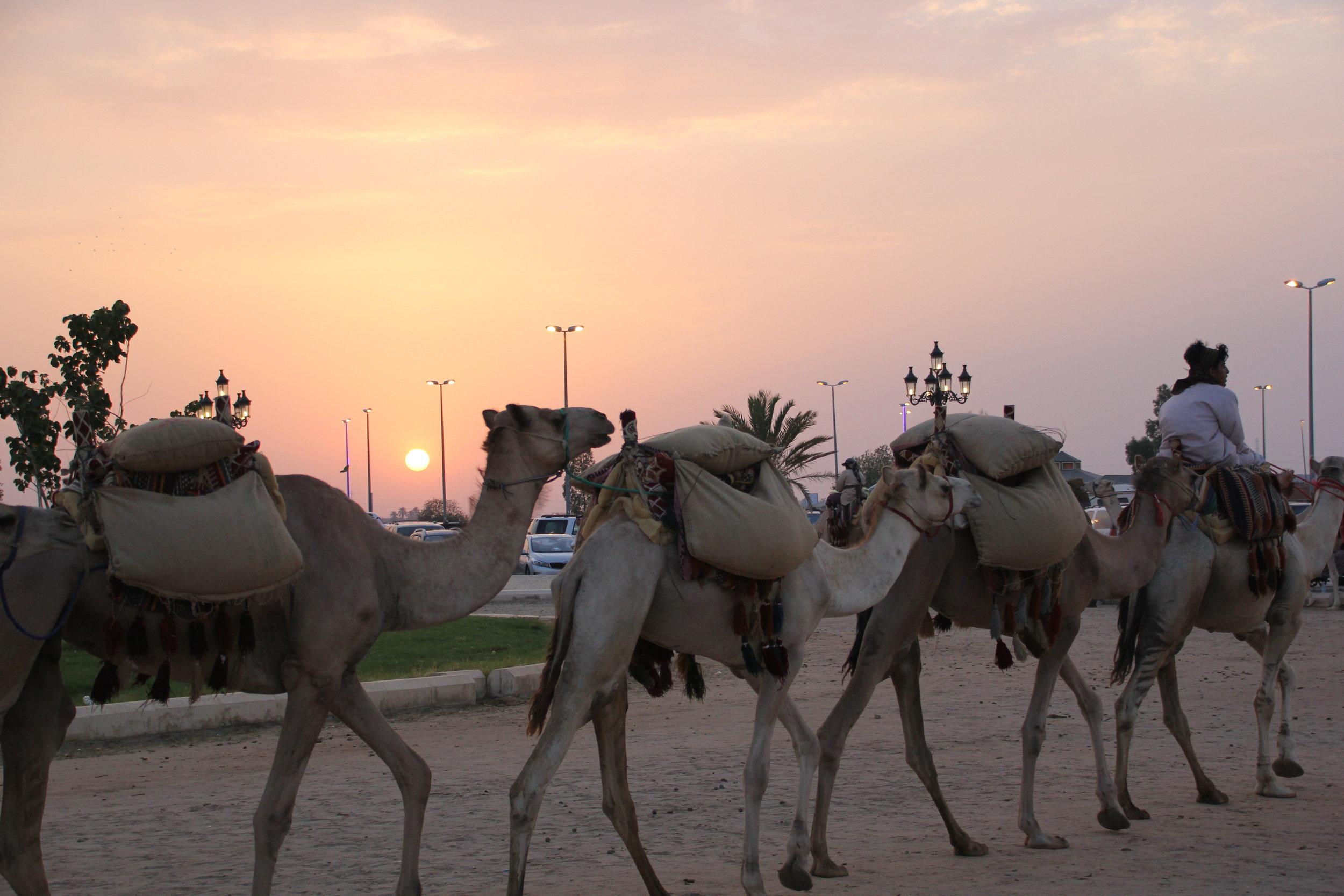 The camel caravan.