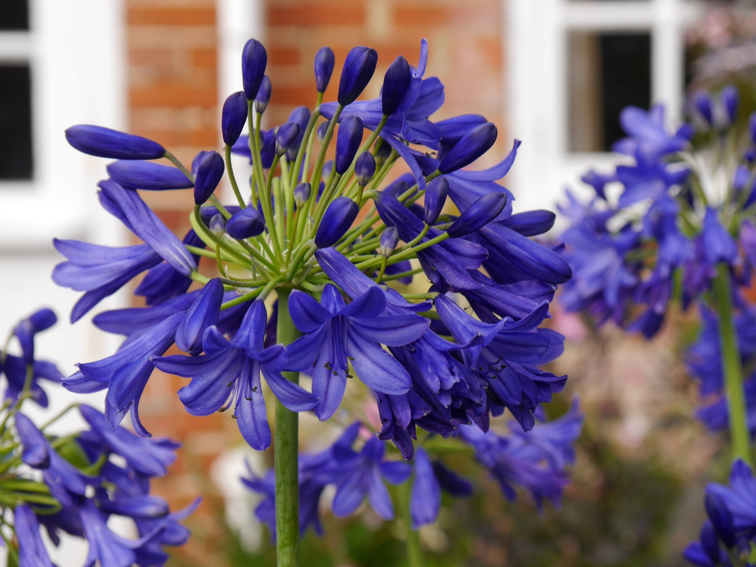 Agapanthus 'Flower of Love' - Deciduous. A free flowering Agapanthus with dark blue flowers. Full sun. Height 60cm and spread 50cmAvailable
