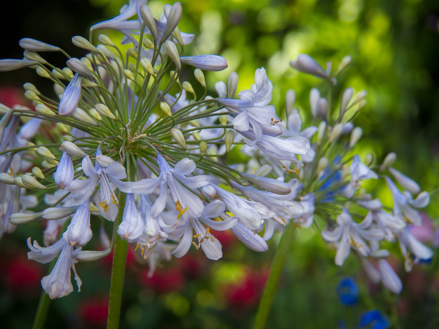 Agapanthus'Blue Ice' - Evergreen. Large pale blue flower heads on strong stems in mid season. Height 1m and spread 50cmAvailable