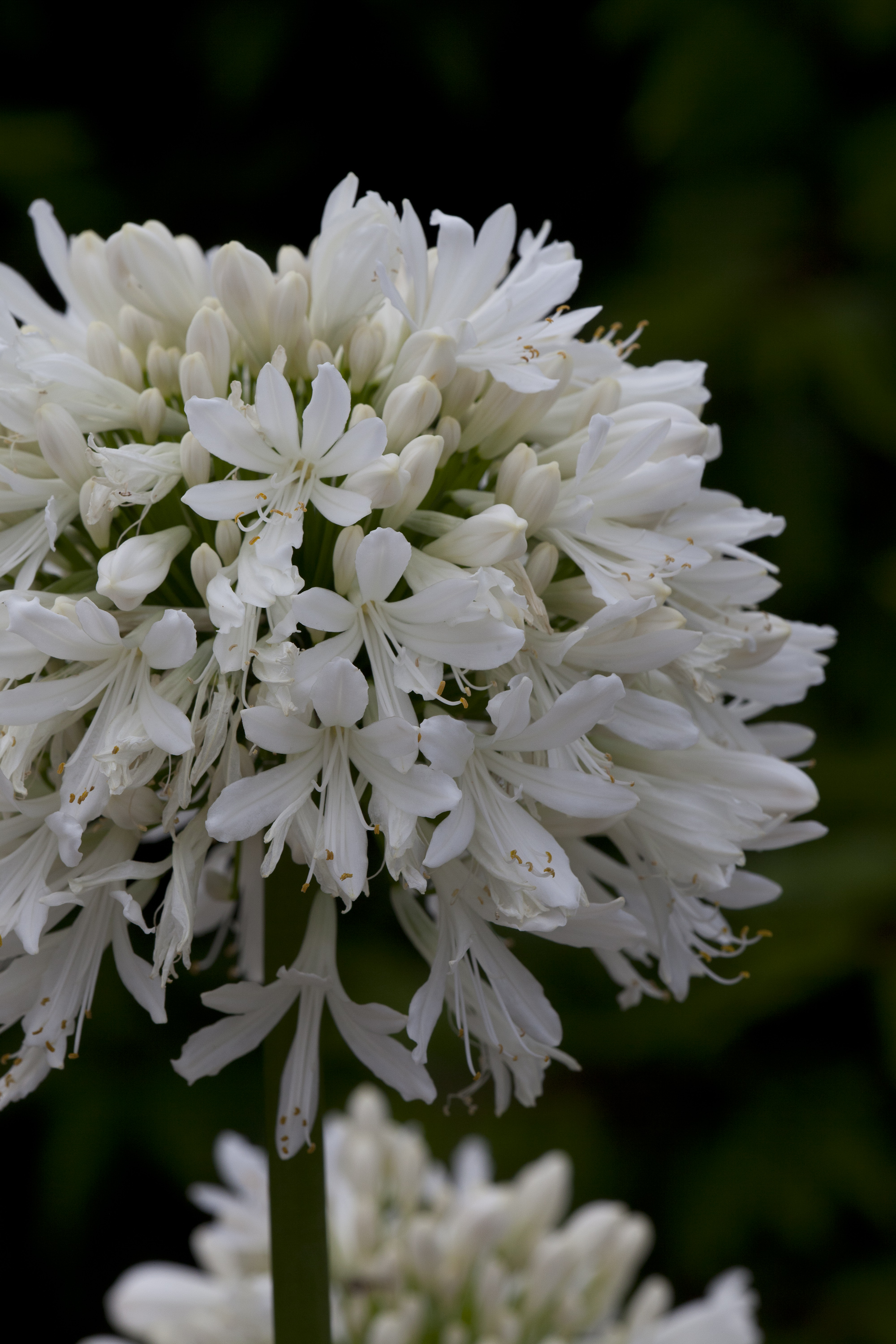 Agapanthus'Snow Cloud' - Evergreen. Large white flowers and broad leaves. Full sun. Height 1m and spread 50cmAvailable