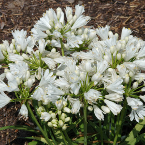 Agapanthus'Double Diamond' - Evergreen. Double white frilly flowers are produced in early summer above strap-like foliage. Prefers full sun. Height and spread 30cmAvailable