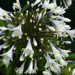 Agapanthus'Enigma' - Evergreen. Large bicolour flowers with a dark blue throat fading to white. Height and spread 50cmAvailable
