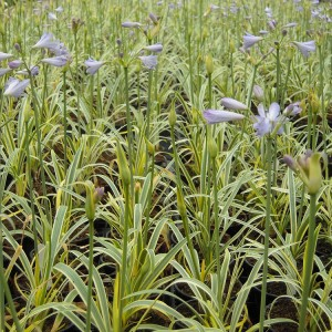 Agapanthus'Golden Drop' - Evergreen. Foliage is edged with golden stripes. Light blue flowers are produced on upright stems. Full sun. Height and spread 30cmUnavailable