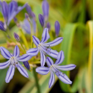Agapanthus'Goldstrike' - Evergreen Golden and green variegated foliage and deep blue buds opening to elegant dark and lights blue striped blooms. Height 60cm and spread 50cmAvailable