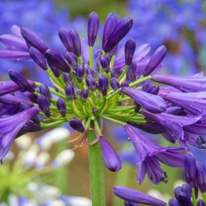 Agapanthus'Purple Delight' - Evergreen. Broad leaves and deep purple flowers on strong stems. Prefers full sun. Height 90cm and spread 70cmAvailable