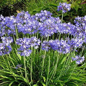 Agapanthus 'Star Quality' - Deciduous. Mauve blue flowers with a darker stripe down each tepal. Height 60cm and spread 45cm. -10 to -15CAvailable