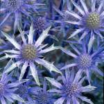 Eryngium-Picos-Blue-150x150.jpg