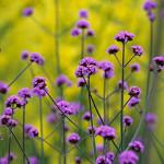 Verbena-bonariensis-150x150.jpg