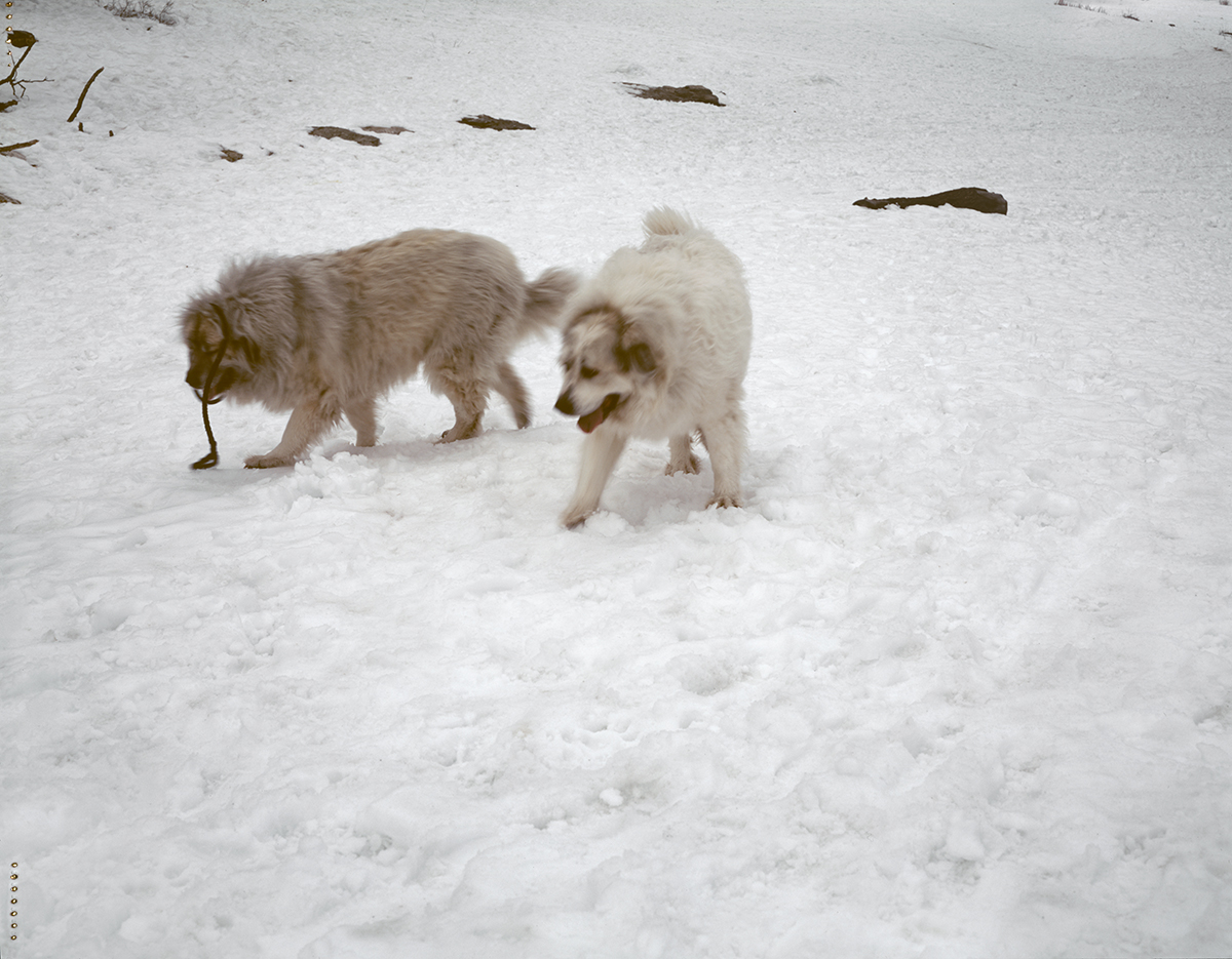 title variable (mountain dogs)