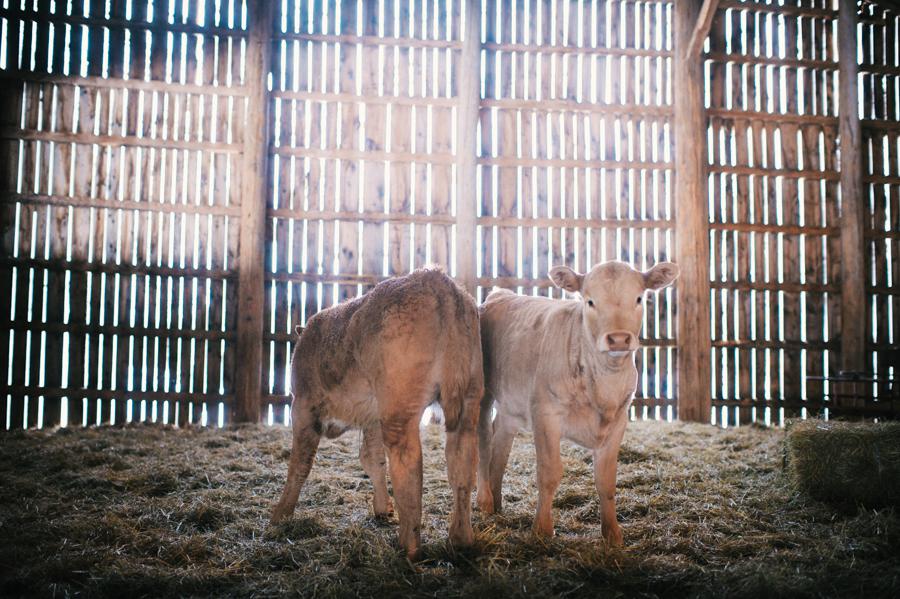 Spring calves at Cosman & Webb Farms