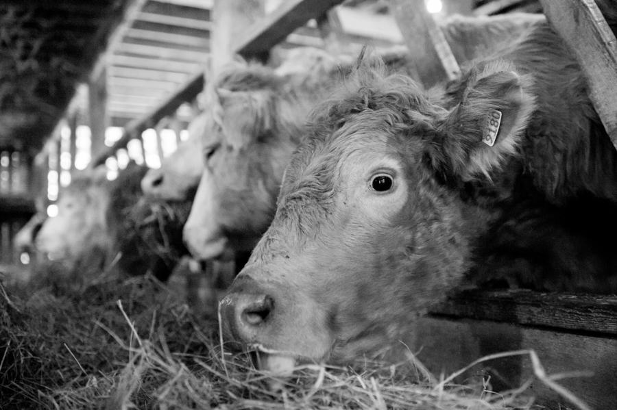 Cows On The Cosman & Webb Organic Farm