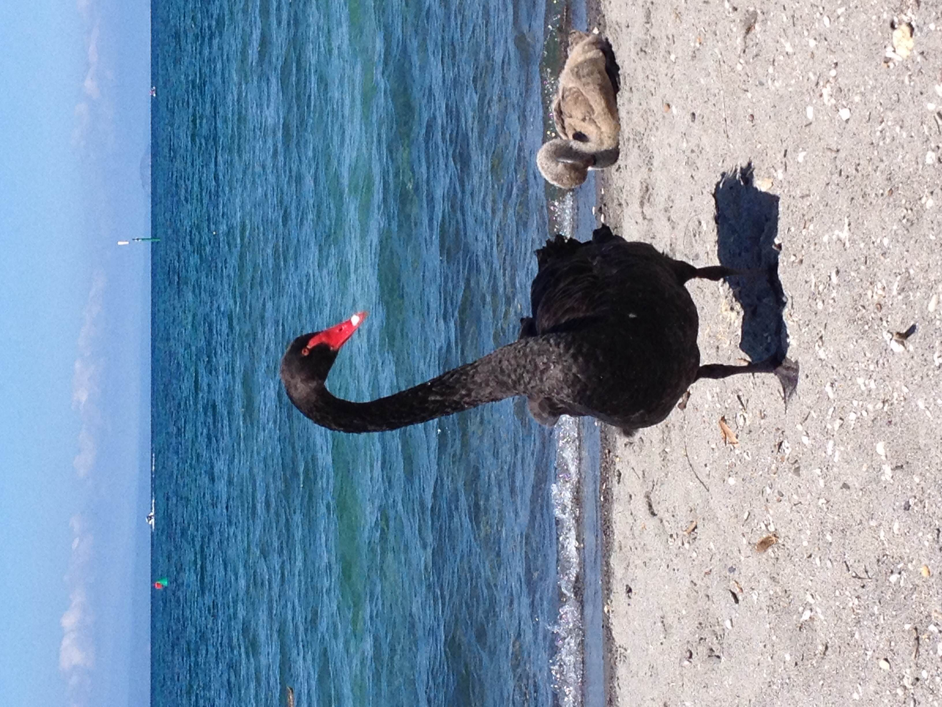 A black swan and chick on the shore of Lake Taupo, New Zealand.