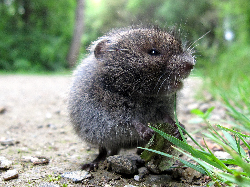 meadow-vole-by-manual-crank-cc.jpg