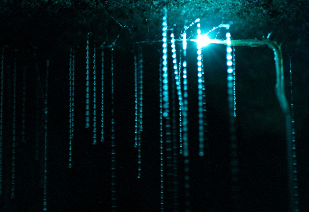 The glowing light attracts the prey that then get stuck in the spider-web-like strings that hang down from the glowing bioluminescent disco ball. It's pretty amazing to see in person.