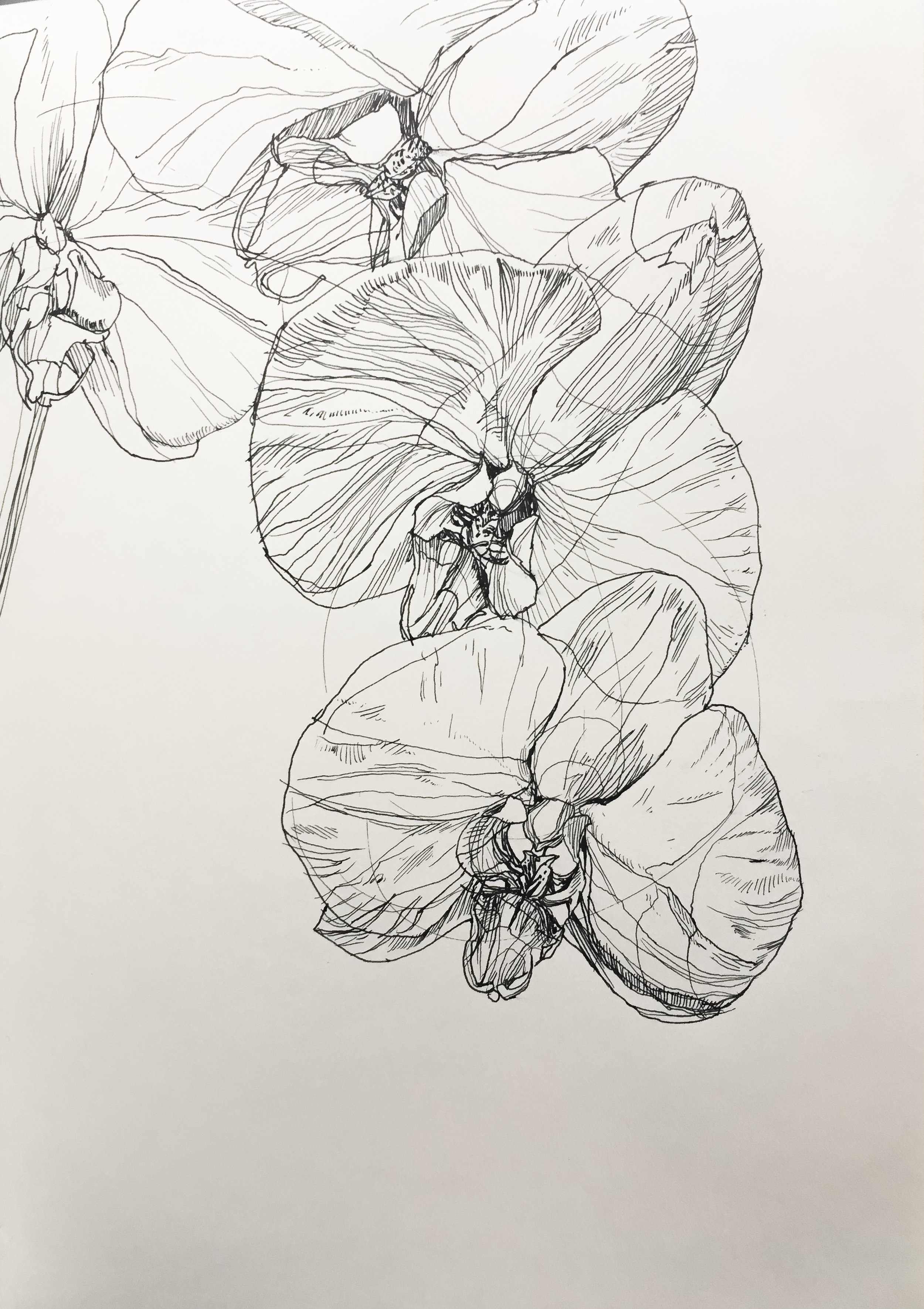 """Orchid Chord, 8.5"""" x 11"""", ink on paper, by Melissa Carmon"""