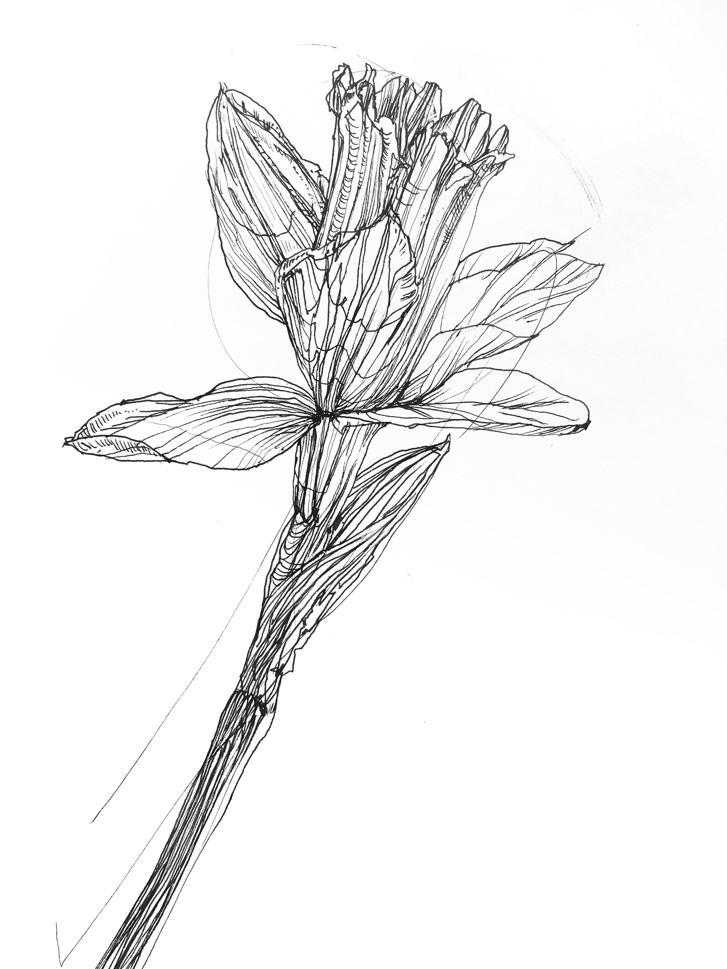 Melissa Carmon art daffodil botanic drawings