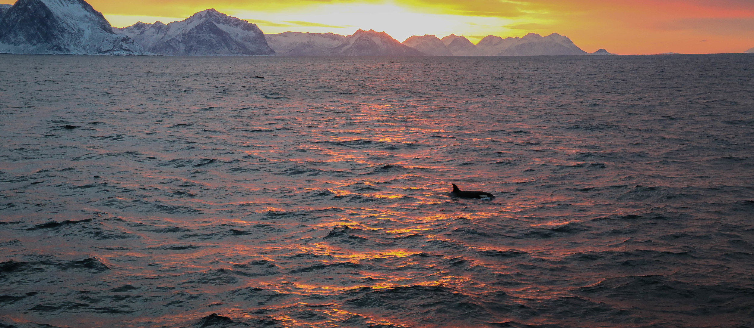 Orca in the Arctic waters of Norway.