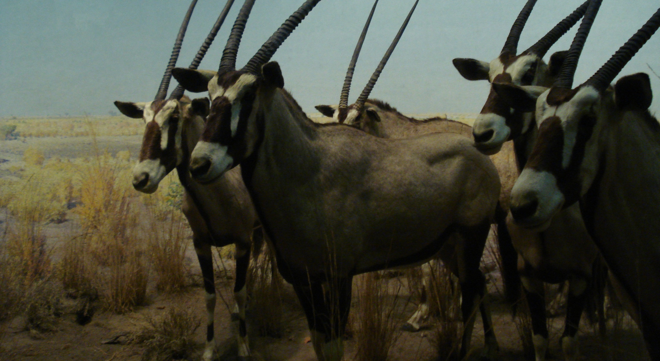 AMNH diorama: Oryx in the plain of Africa.