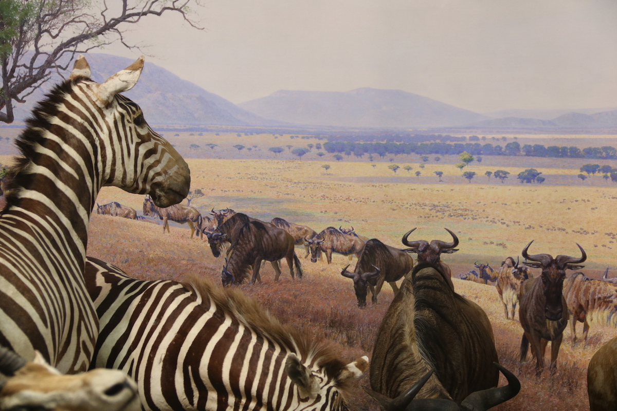 Serengeti group. AMNH.