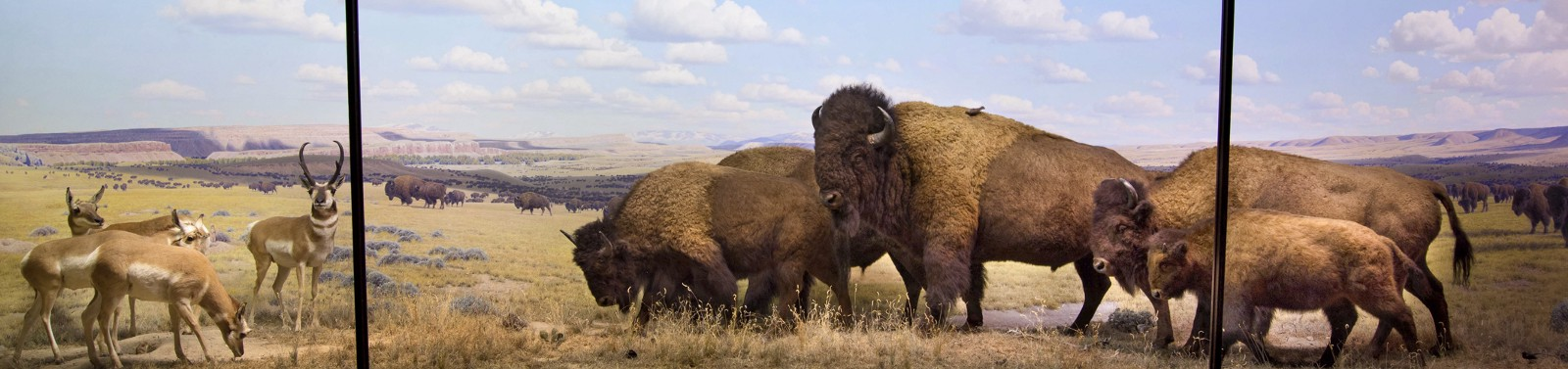 Bison group, October afternoon, Wyoming. AMNH.