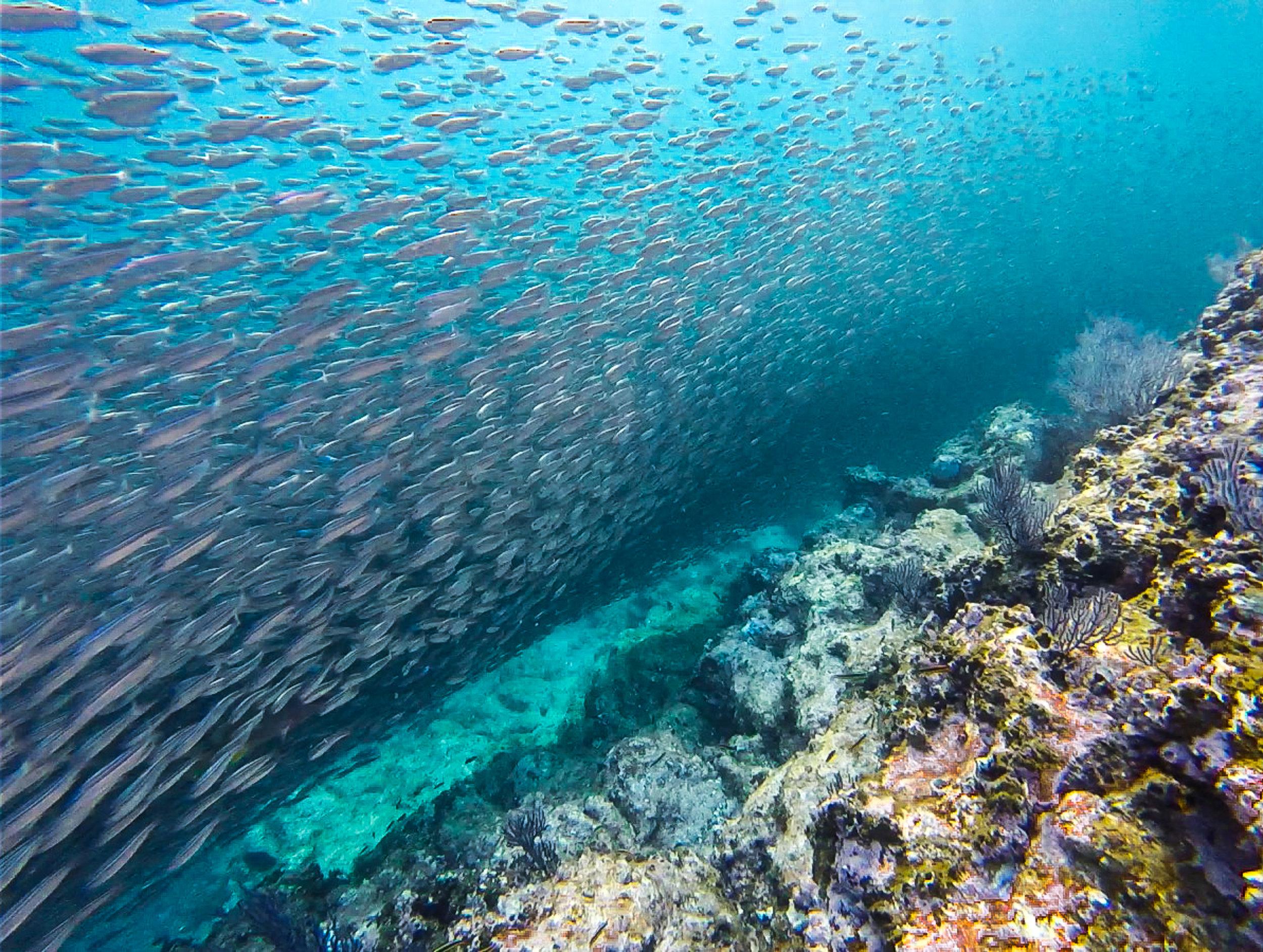 Conveyor belt of Sardines.