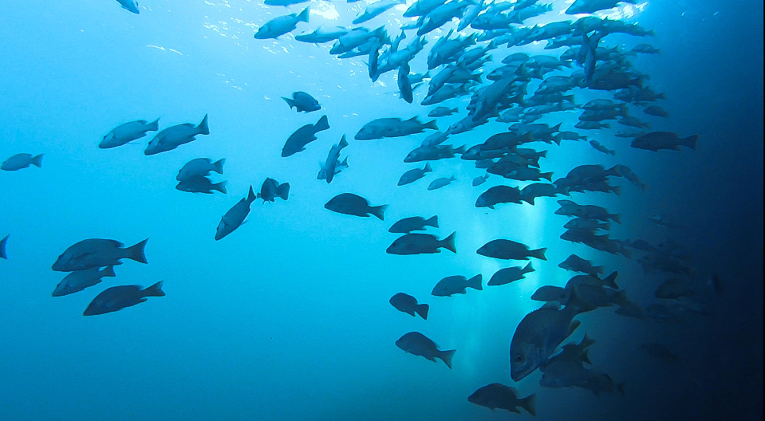 Schooling groupers.