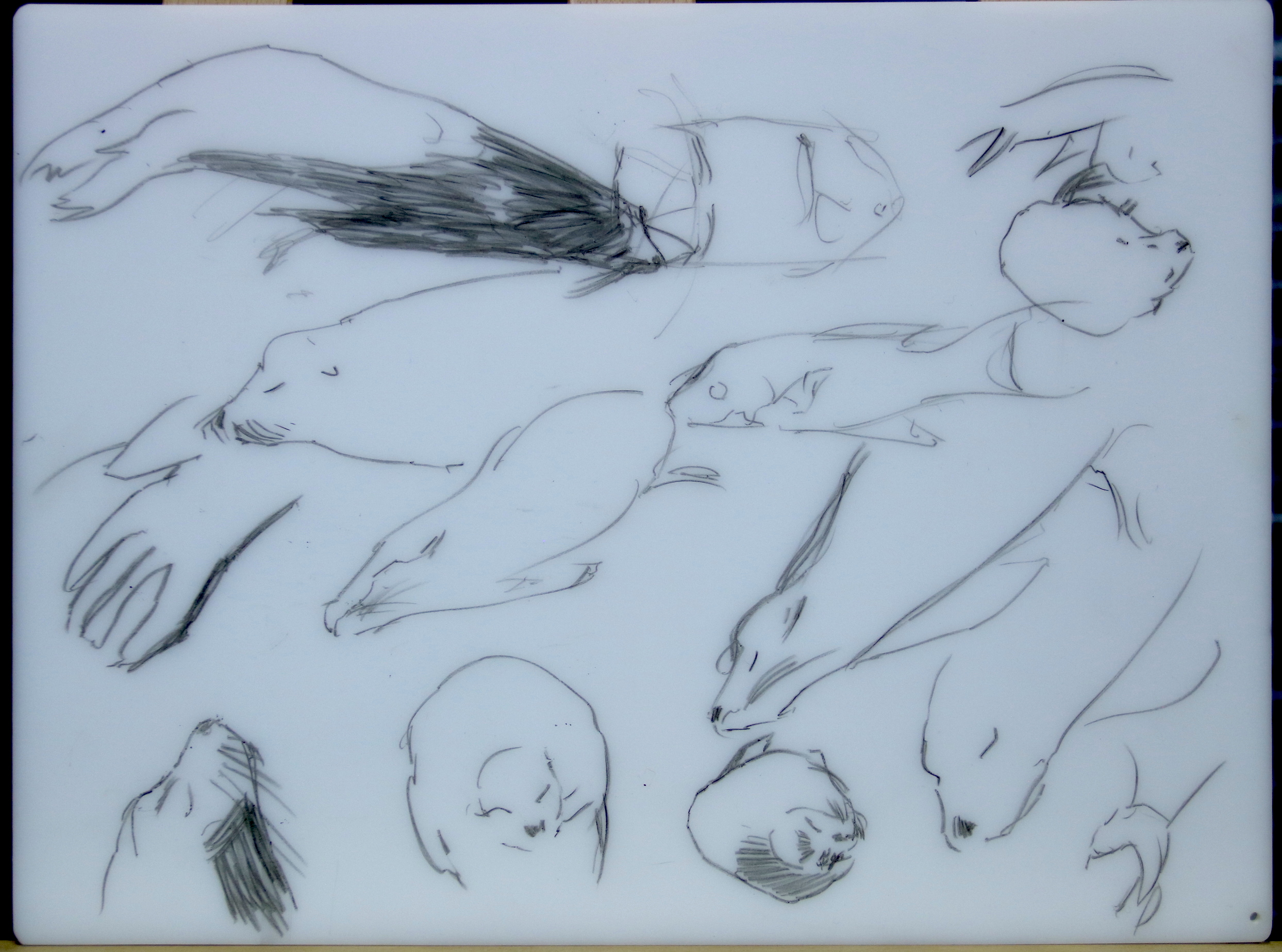 Sketches of napping sea lions.