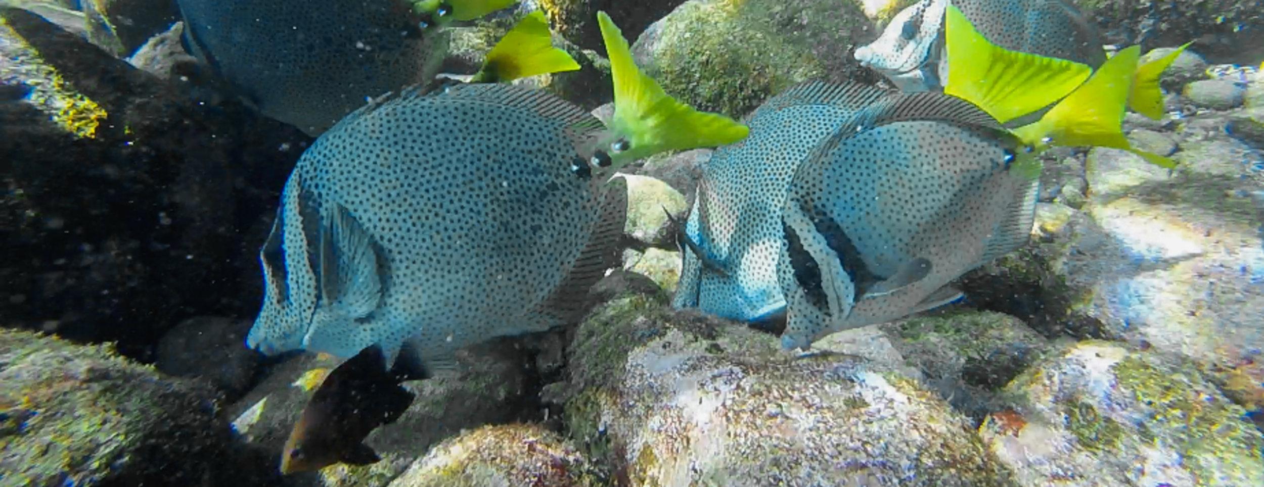 Grazing Surgeon fish.