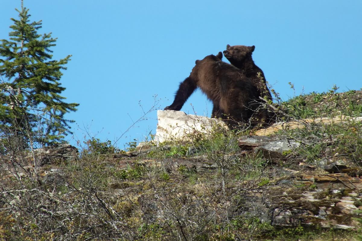 Grizzly Cubs www.LardeauRiverAdventures.com.JPG
