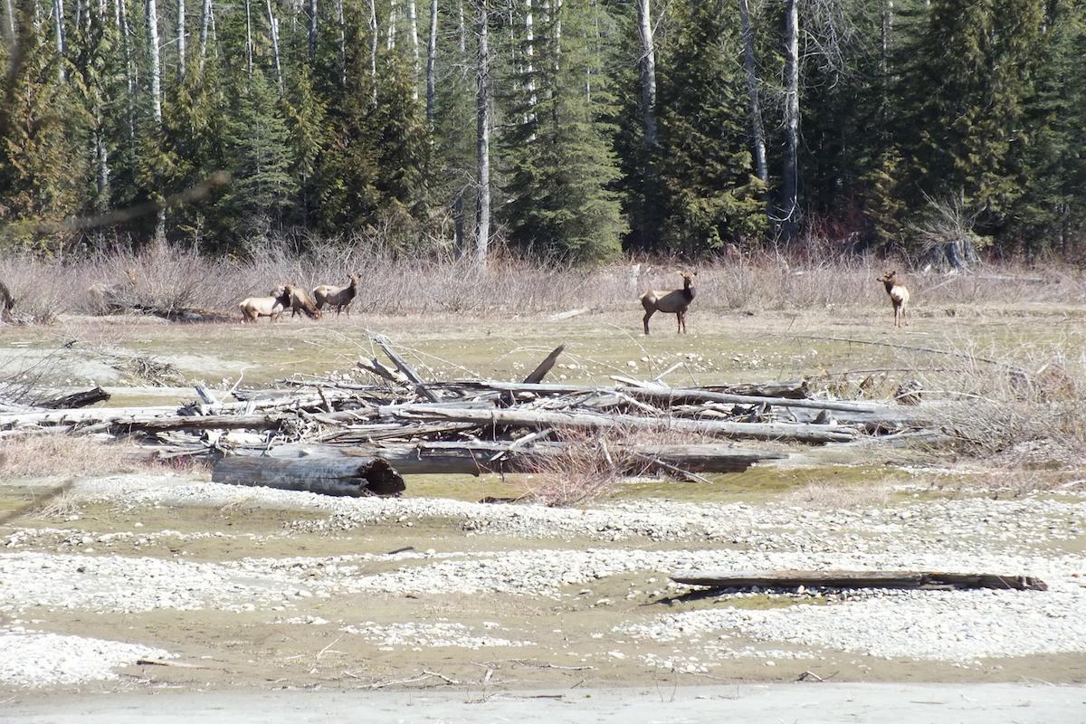 Rocky Mountain Wildlife LardeauRiverAdventures.com.jpg