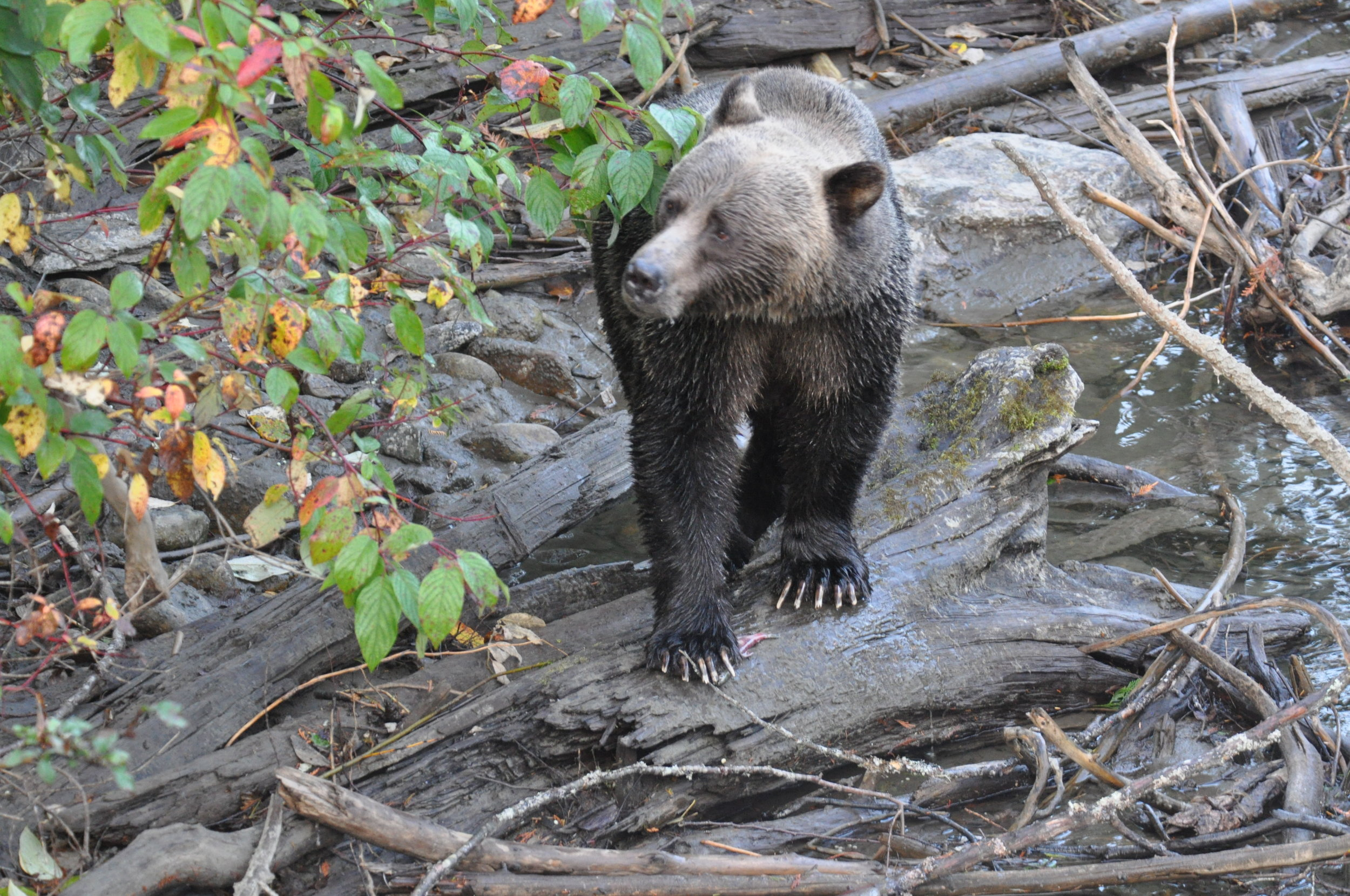 A Lardeau River Grizzly with a Kokanee Salmon underfoot.