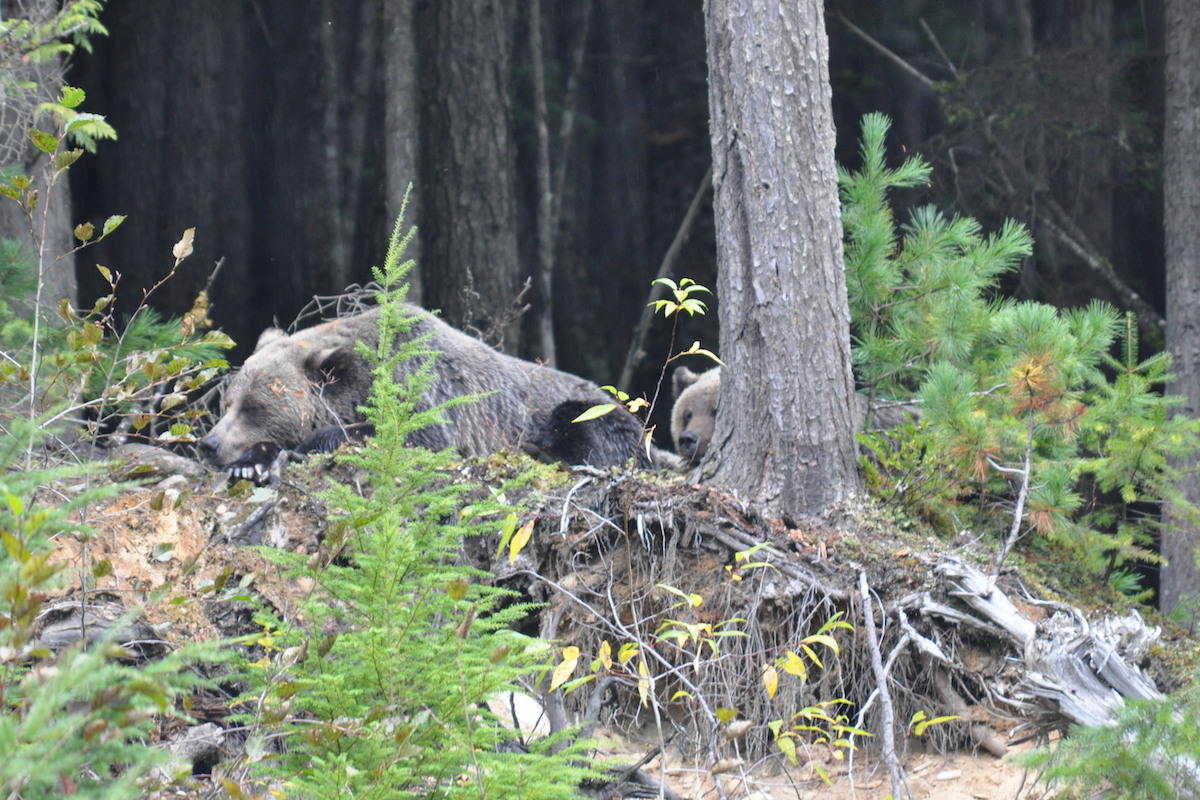 Sleeping Grizzly Bears - Lardeau River Adventures