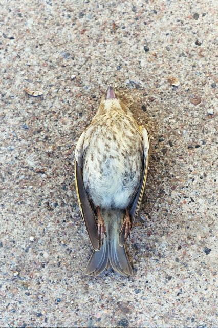 DeadBird.jpg