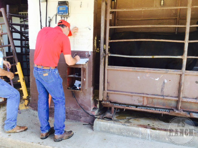 The owner, Steve Fisher, met us at the delivery and weighed in the cattle.