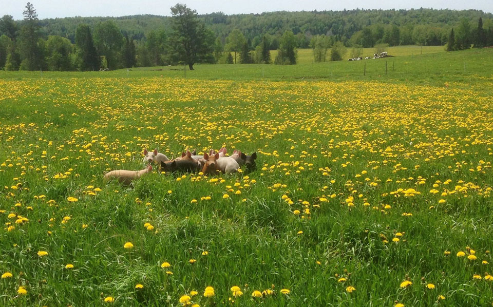 Pasture raised pigs enjoying their healthy and natural environment.