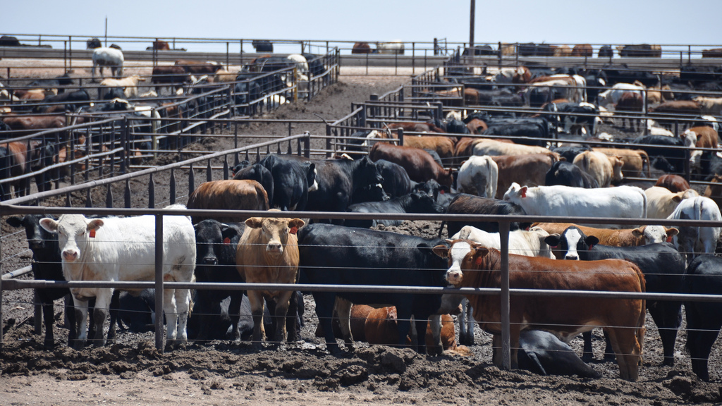cattle-feedlot.jpg