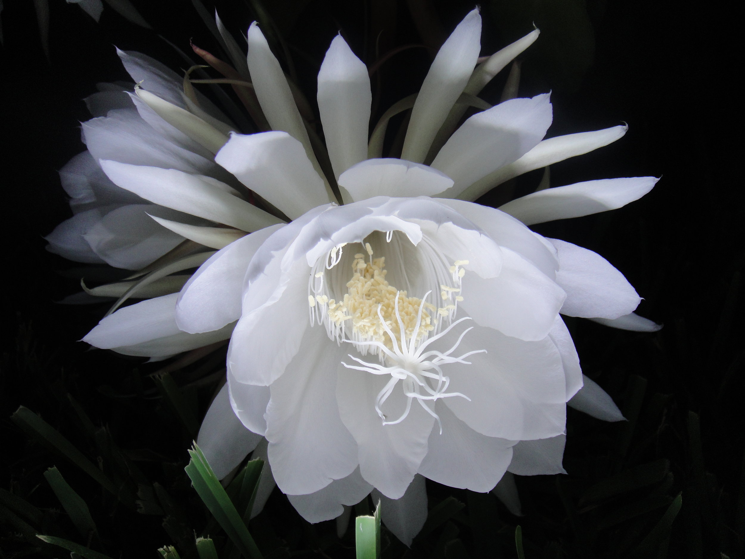 Night_Blooming_Cereus_Blossom.JPG