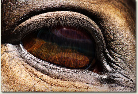 South African Stallion Eye